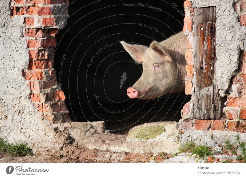 Und jetzt? Nutztier Schwein 1 Tier Glücksbringer Mut Tatendrang klug Steckdose beobachten Blick träumen Coolness dreckig rosa Zufriedenheit Lebensfreude