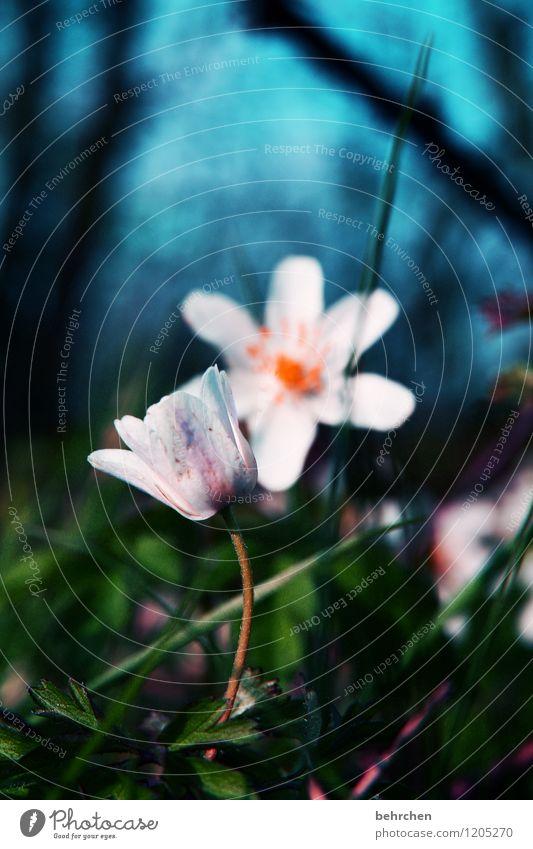 sehnsuchtsvoll Natur Pflanze Himmel Frühling Sommer Schönes Wetter Baum Blume Gras Blatt Blüte Buschwindröschen Garten Park Wiese Feld Wald Blühend Duft