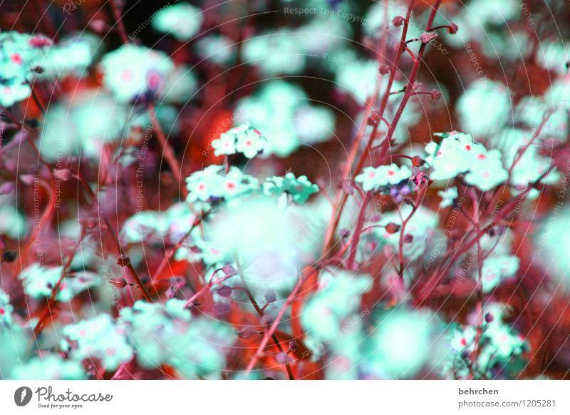 die aufforderung des schlafwandlers zum tanz Natur Pflanze Frühling Sommer Schönes Wetter Blume Gras Blatt Blüte Wildpflanze Vergißmeinnicht Garten Park Wiese