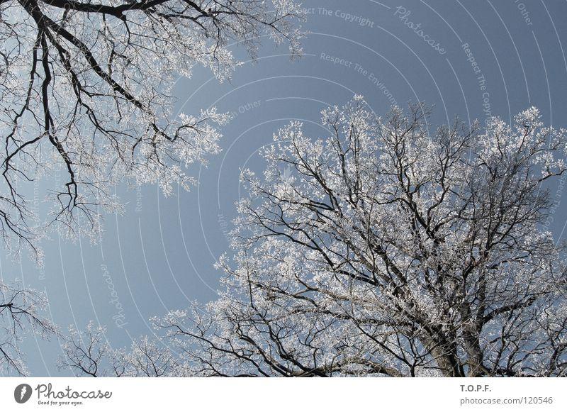 relationship between two trees Natur weiß Baum Winter kalt Schnee Eis Zusammensein Frost Jahreszeiten Baumkrone Raureif Kanton Bern