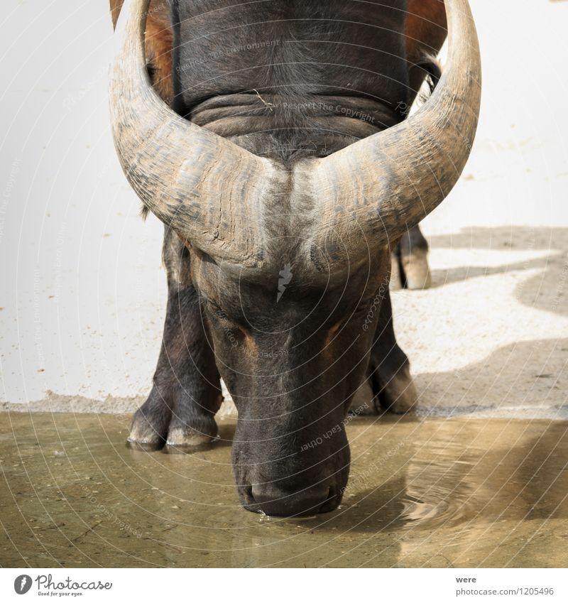 Büffel Natur Tier Wasser Nutztier Kuh Wasserbüffel 1 beobachten trinken friedlich Gelassenheit ruhig Selbstbeherrschung standhaft Umweltschutz Biotop Gefahr