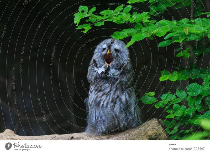 Gute Nacht Eule Natur Pflanze Tier Wald Gras Vogel wild Wildtier Streifen Wachsamkeit Umweltschutz Jagd Müdigkeit schreien Tiger Biotop