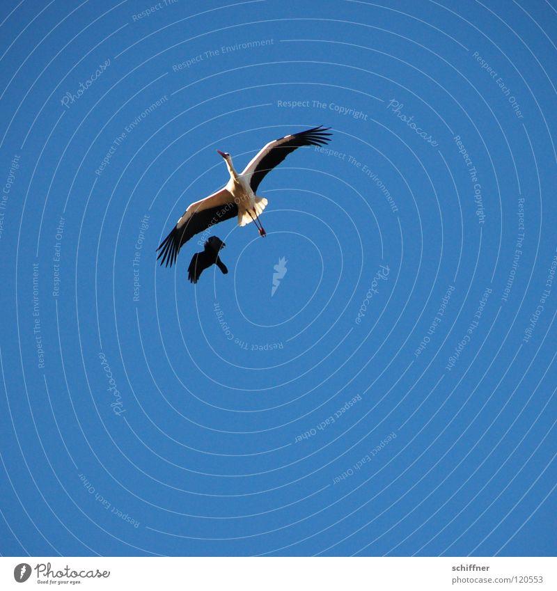 Ich will ein Kind von Dir! Himmel blau Vogel fliegen Luftverkehr Konflikt & Streit kämpfen frech Umweltschutz Angriff Storch Rabenvögel gleiten Tier attackieren