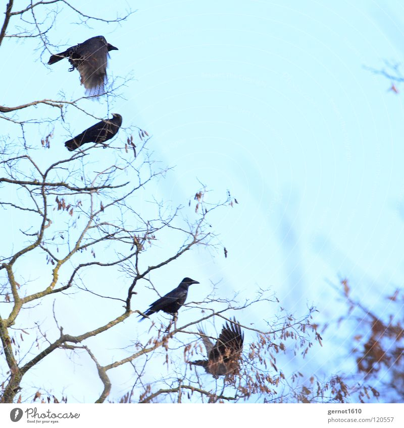 Flucht Rabenvögel Krähe Kolkrabe Aaskrähe schwarz Baum Winter kalt Vogel Ast fliegen blau Himmel