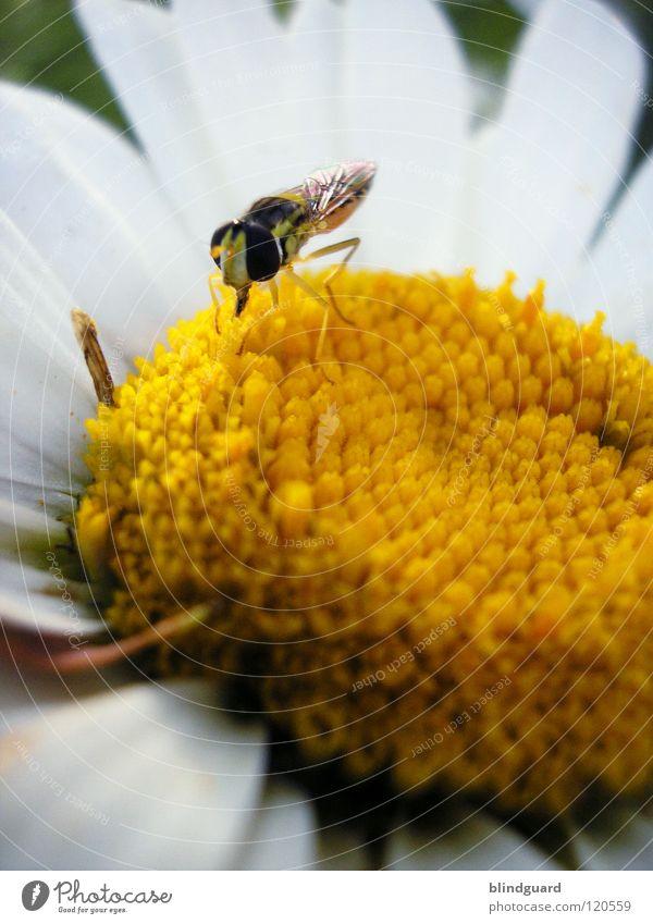 Lasse Schweben Schwebfliege Insekt klein Blume Margerite Rüssel saugen gelb Fertilisation schwarz weiß gestreift Tarnung Sommer Fressen Pflanze Tier
