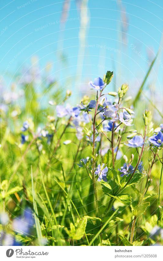 ein tag im sommer... Himmel Natur Pflanze blau grün schön Sommer Blume Blatt Blüte Frühling Wiese Gras klein Garten Park
