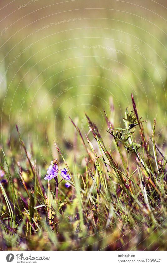 einzelstück Natur Pflanze Frühling Sommer Schönes Wetter Blume Gras Blatt Blüte Wildpflanze Veronica Garten Park Wiese Feld Blühend Wachstum schön klein grün