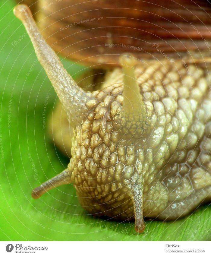 Schwupps, weg war sie..:Weinbergschnecke 03 grün Tier Haus Auge Park braun Schnecke krabbeln Fühler langsam schleimig Schädlinge Schleim Klebrig Zeitlupe