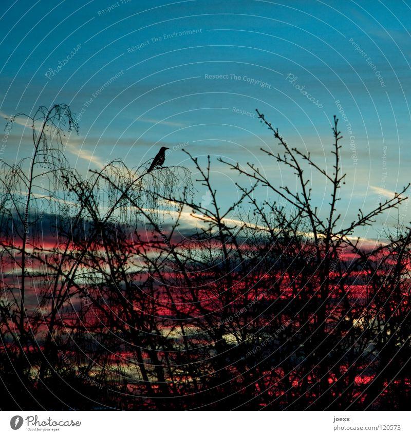 Himmel und Hölle Blick Baum Krähe Morgen Rabenvögel Sonnenaufgang Überwachung Wachsamkeit Wolken Vogel abraxas Ast Vogelperspektive ausspähen beobachten