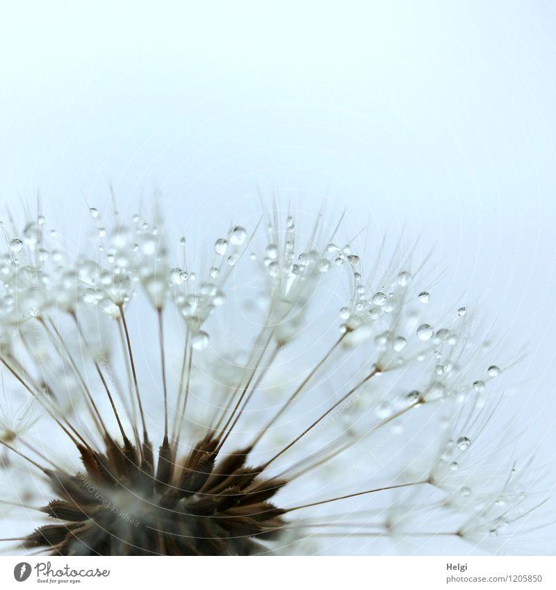 bedröppelt... Umwelt Natur Pflanze Wassertropfen Frühling Regen Blume Wildpflanze Löwenzahn Samen Park festhalten glänzend verblüht Wachstum ästhetisch