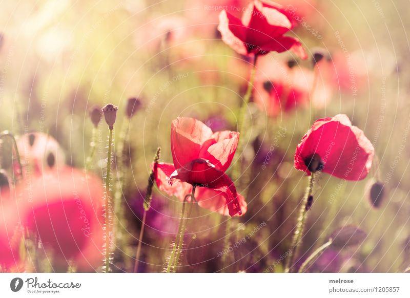 Leucht-MOHN Natur Pflanze schön grün Sommer Blume rot gelb Blüte Stil Park träumen leuchten elegant gold Fröhlichkeit