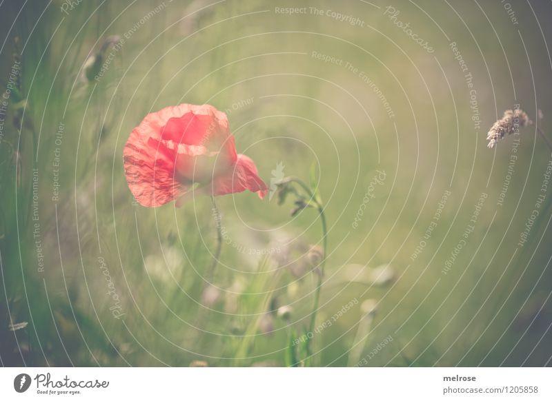 Mohn-Farbtupfer elegant Stil Design Natur Sommer Schönes Wetter Blume Gras Blüte Klatschmohn Halm Wiese Drogensucht berühren Blühend Erholung leuchten träumen
