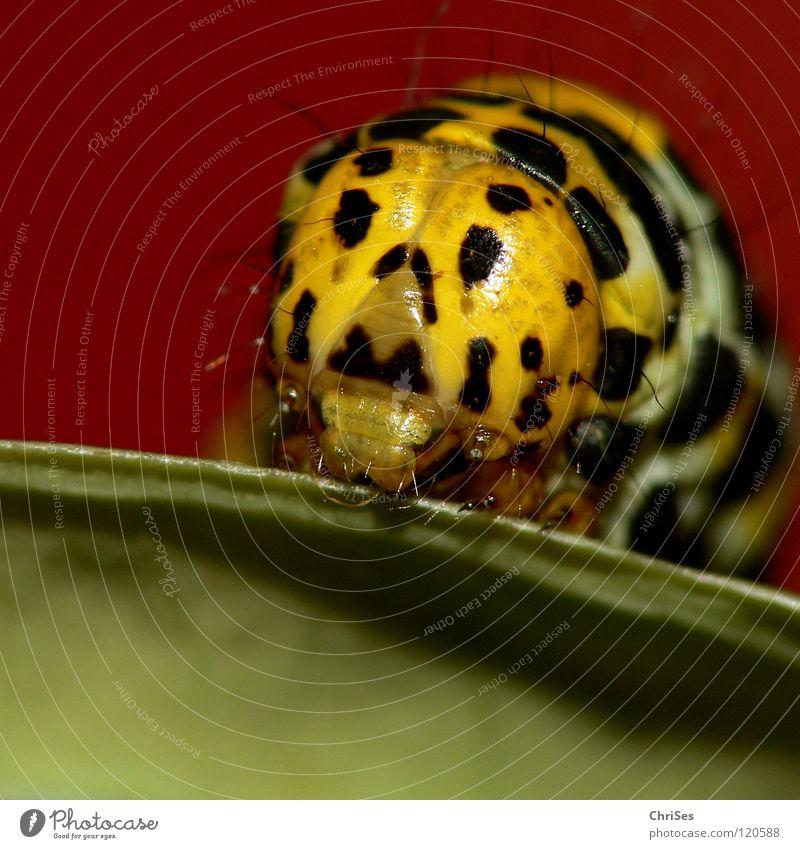Ey, guck ich oder was : Raupe des Königskerzen Mönchs_03 rot Tier schwarz gelb Auge Insekt Schmetterling verstecken Puppe krabbeln Täuschung Schädlinge