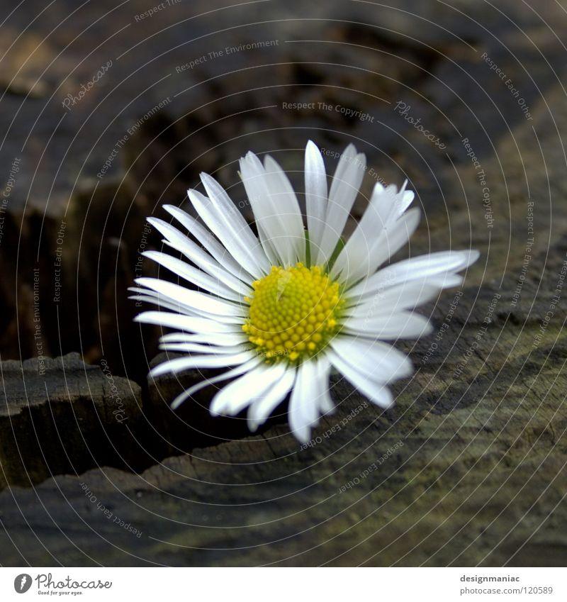 Frostblümchen Gänseblümchen Holz Am Rand Mitte nass kalt Physik gelb weiß dunkel braun schwarz Januar Winter Blume Stillleben Blüte Hoffnung Unschärfe