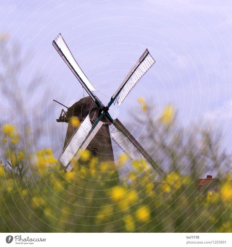 Windmühle Rapsfeld Natur Pflanze Himmel Sonnenlicht Frühling Nutzpflanze Feld Westhoyel Dorf Stein Holz Backstein eckig natürlich blau gelb grün rot schwarz