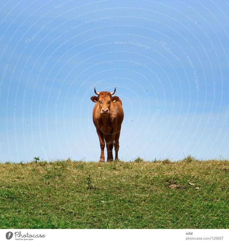 Cow goes shopping Kuh Mitte Säugetier Tonwertkorrektur Gradationskurven Helligkeit Kontrast Gaußscher Weichzeichner Ebene duplizieren