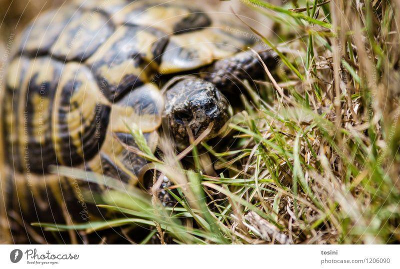 Ich hab 'n Panzer Natur Tier Wildtier Zoo 1 Neugier Schildkröte Schildkrötenpanzer gepanzert Vorsicht Gras Muster Gesicht Farbfoto Außenaufnahme Tag