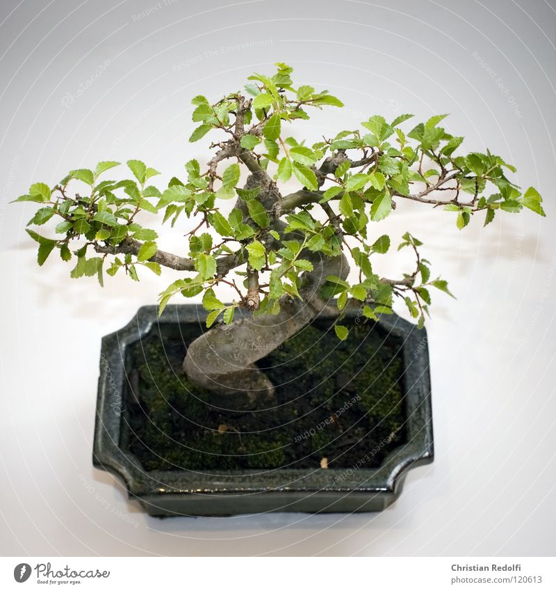 bonsai gr n wei pflanze ein lizenzfreies stock foto von photocase. Black Bedroom Furniture Sets. Home Design Ideas