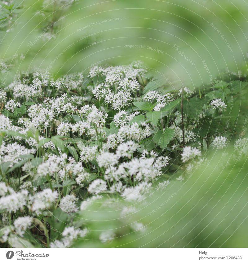 im Bärlauchwald... Umwelt Natur Landschaft Pflanze Frühling Blume Blatt Blüte Wildpflanze Wald Blühend Wachstum außergewöhnlich Duft frisch Gesundheit schön
