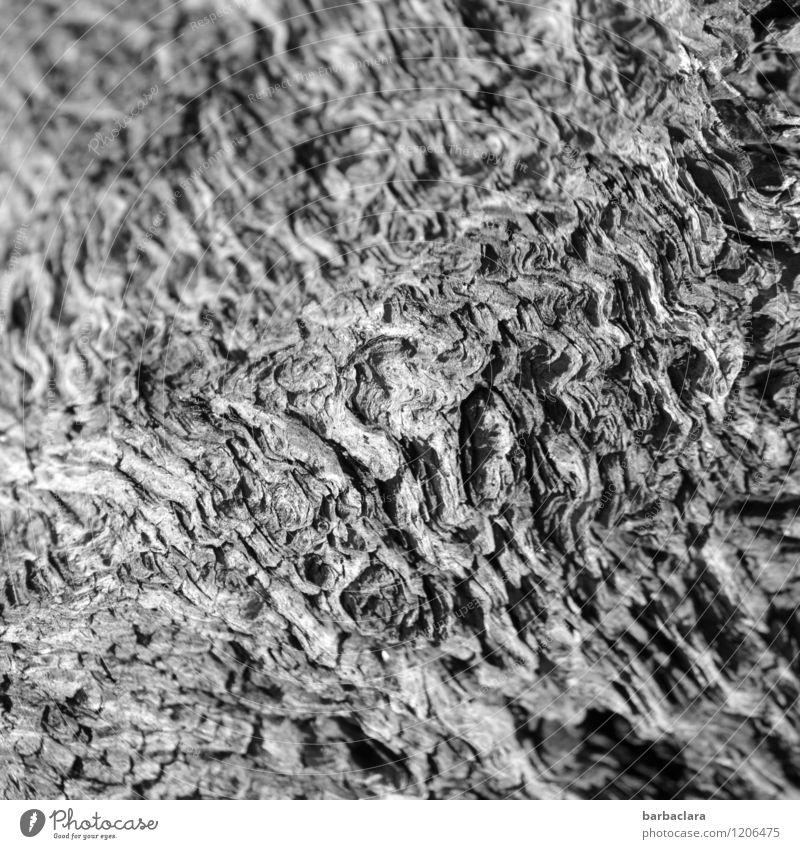 Dauerwellen Natur Baum Baumwurzel Holz Linie alt dunkel hell wild grau bizarr Klima Umwelt Vergänglichkeit Wandel & Veränderung Schwarzweißfoto Außenaufnahme