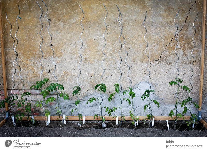 11 Freunde Lifestyle Freizeit & Hobby Häusliches Leben Garten Gartenarbeit Sommer Nutzpflanze Tomatenplantage Tomatenpflanze Stab Tomatenstangen Wachstum frisch