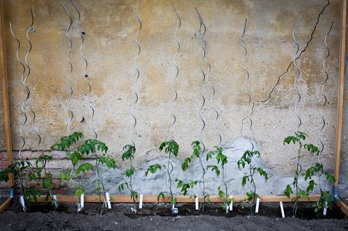 11 Freunde Natur grün Sommer Gefühle Garten Lifestyle Freizeit & Hobby frisch Wachstum Häusliches Leben Tomate Gartenarbeit Nutzpflanze Stab Tomatenplantage