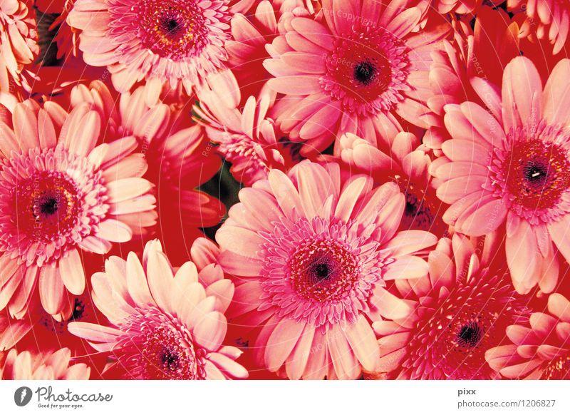 jede menge asteraceae Natur Pflanze schön Blume Blüte Stil Garten rosa Zusammensein elegant Fröhlichkeit Kreis Vergänglichkeit weich viele nah
