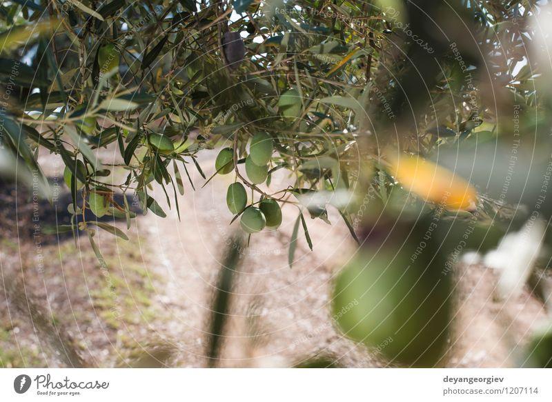 Olivenzweige im Vordergrund. Gemüse Frucht Garten Natur Landschaft Pflanze Baum Blatt frisch natürlich grün oliv Ast mediterran Schonung Lebensmittel Hain