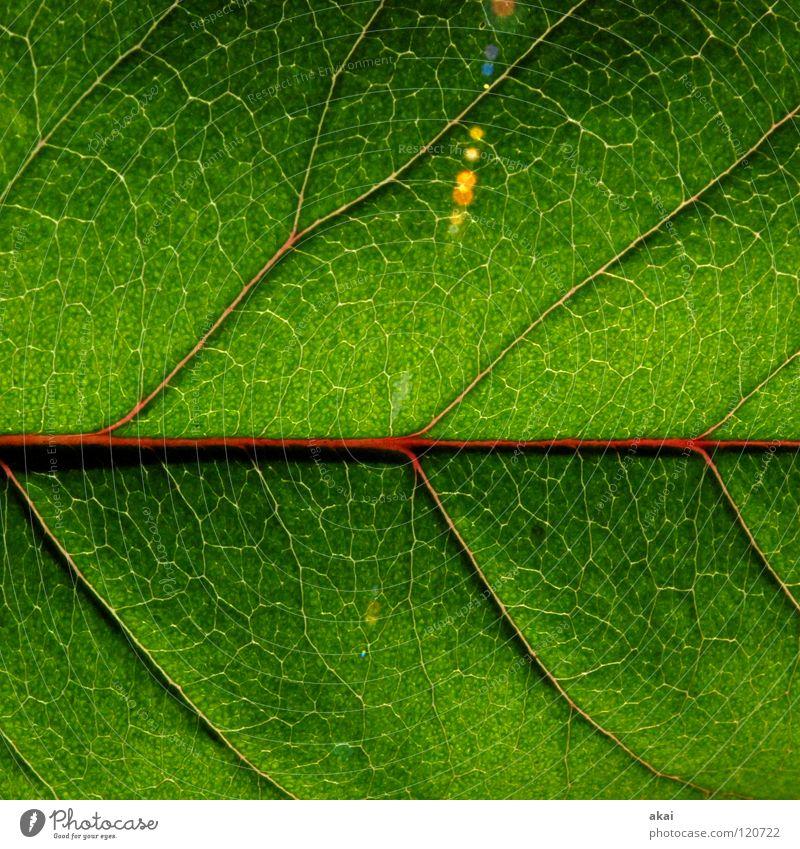 Das Blatt 25 Pflanze grün Botanik Pflanzenteile pflanzlich Makroaufnahme Nahaufnahme Natur Blattadern Blattunterseite verzweigt Grünpflanze Kirschbaumblatt