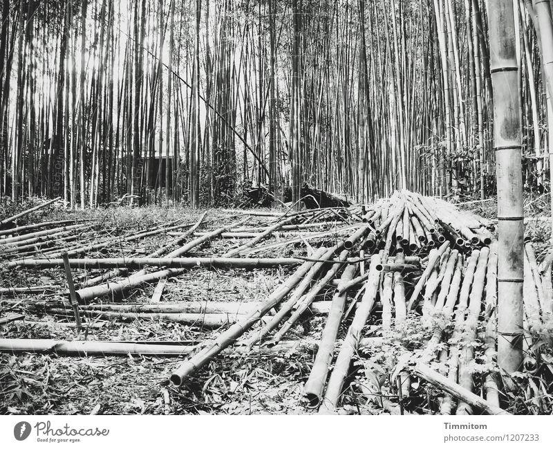 Ernte 2010. Landwirtschaft Forstwirtschaft Umwelt Natur Pflanze Bambusrohr Wald Japan liegen Wachstum ästhetisch natürlich grau schwarz Lager Schwarzweißfoto