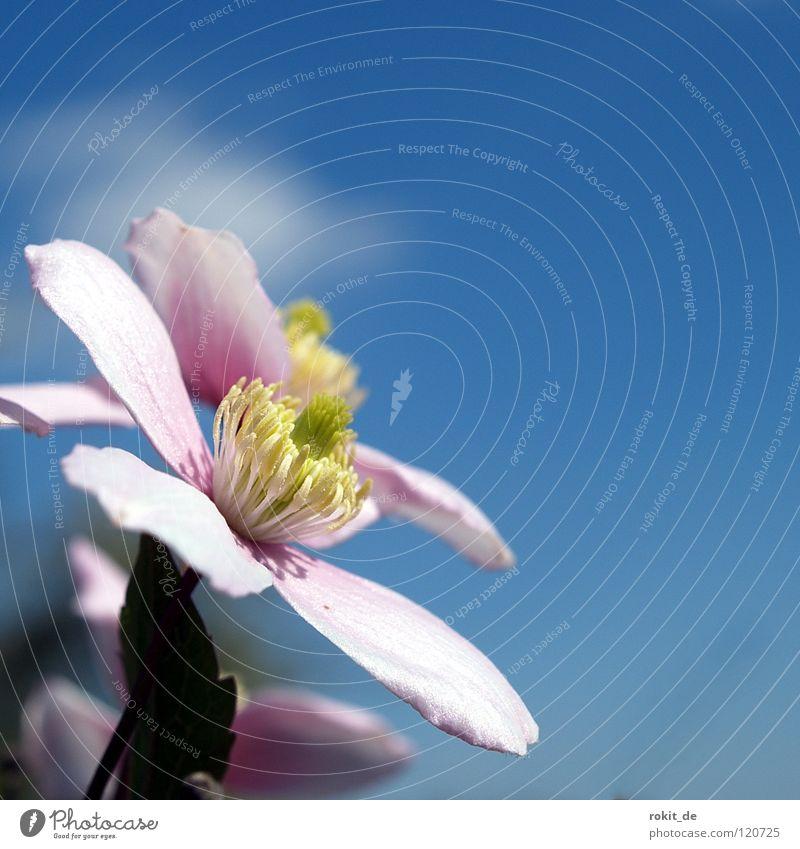 A schee Blümelche Himmel Blume blau Sommer Freude Wolken Blüte rosa zart Zaun Pflanze Blütenknospen Ranke