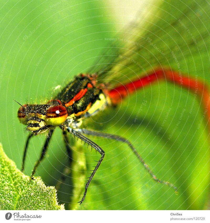 Frühe Adonisjungfer (Pyrrhosoma nymphula) _03 Frühe Adonislibelle Libelle Insekt rot Tier grün gelb Sommer Gliederfüßer Klein Libelle Schlanklibelle Grimasse