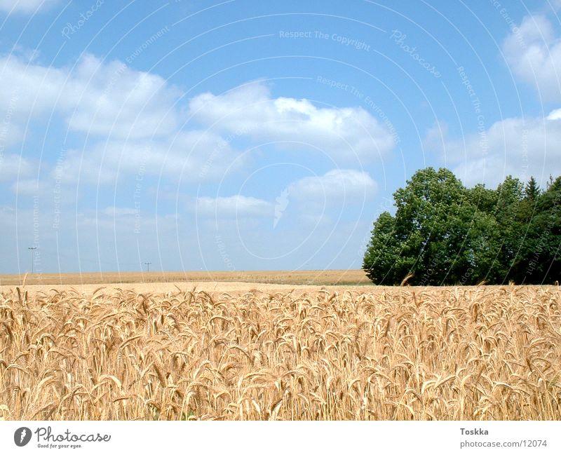 Kornfeld Ähren himmelblau Baum grün Wolken Waldrand Natur