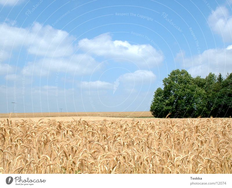 Kornfeld Natur Baum grün Wolken Ähren himmelblau Getreide Waldrand