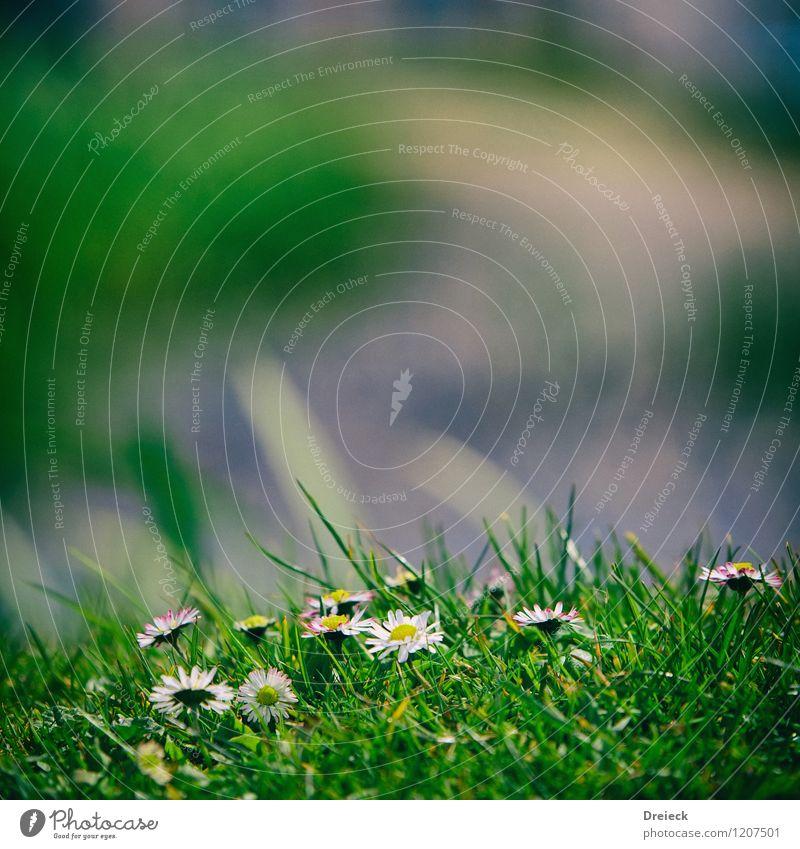 Blumenpfad Umwelt Pflanze Frühling Sommer Schönes Wetter Gras Blatt Blüte Grünpflanze Mergerite Garten Park Wiese Duft Freundlichkeit frisch Glück schön