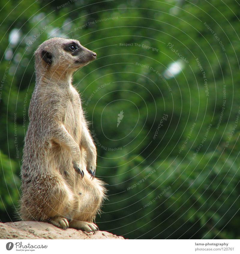 Timon der Späher Erdmännchen Meerkatzen Aussicht Wachsamkeit Kontrolle Posten Vogelperspektive Hügel Zoo Park Tier stehen hocken Savanne niedlich süß Fell