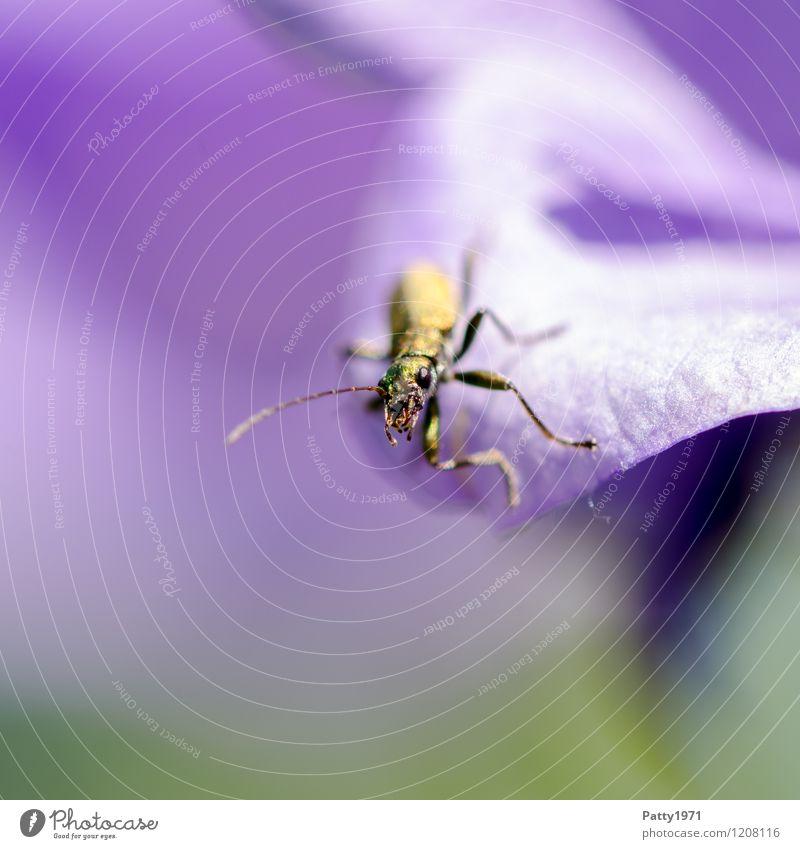 Was guckst du? Natur Tier Käfer 1 krabbeln Blick glänzend Neugier gelb violett Außenaufnahme Makroaufnahme Menschenleer Textfreiraum links Textfreiraum unten