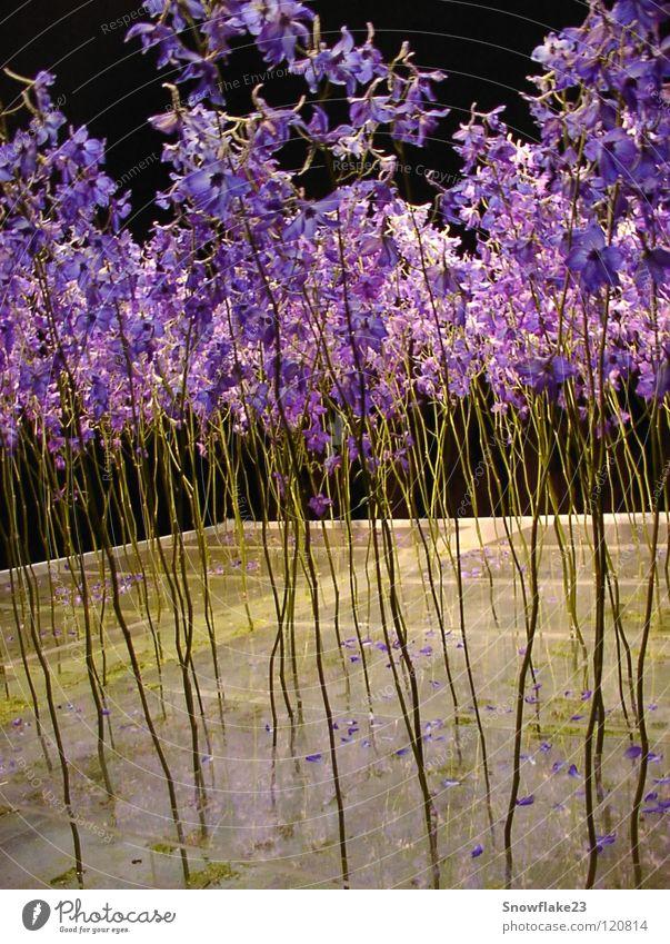 Delphinium Natur schön Blume blau träumen zart Sehnsucht Rittersporn Vor dunklem Hintergrund