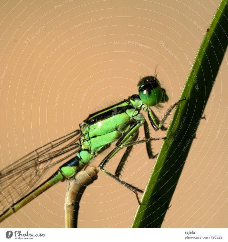 kleinlibelle IV grün Auge Tier Kopf Beine warten Tiergesicht Asien Flügel Schutz dünn beobachten festhalten Singapore Libelle hellgrün