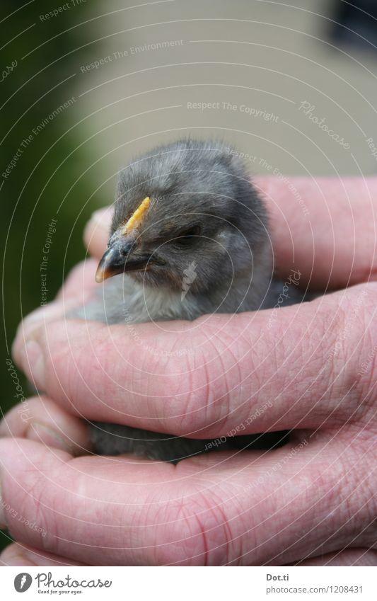 chick Hand Tier Tierjunges klein grau Finger niedlich weich fangen Tiergesicht Vorsicht Haushuhn Nutztier Küken haltend