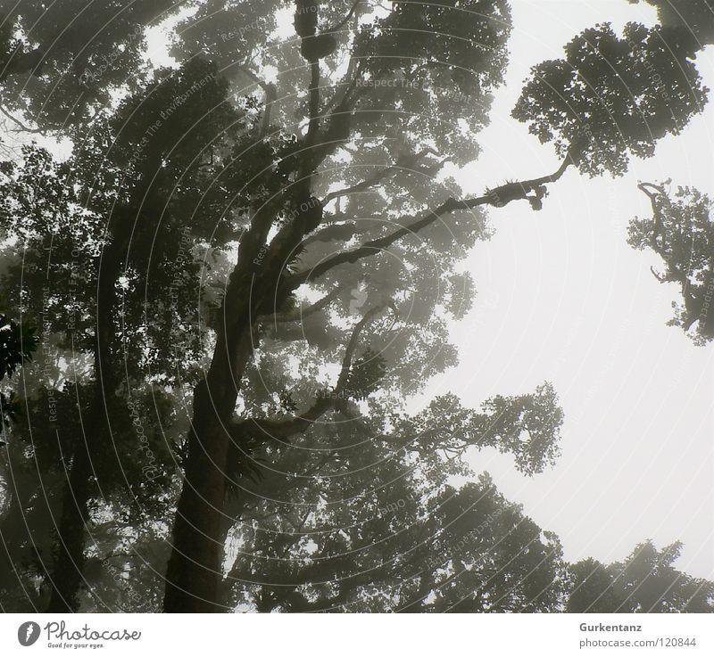 Blackwood Baum Blatt Wald Urwald Baumstamm Baumkrone Borneo