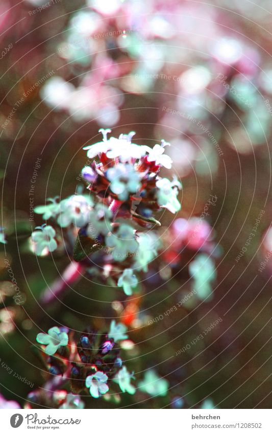 blumiges gewürz Natur Pflanze Frühling Sommer Herbst Blume Blatt Blüte Nutzpflanze Thymian Garten Park Wiese Feld Blühend Wachstum Duft schön braun violett