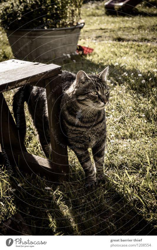 Ein Kater auf Abwegen Katze grün Tier Wiese Gras Garten braun authentisch stehen beobachten einzigartig Neugier Fell Wachsamkeit Haustier Tiergesicht