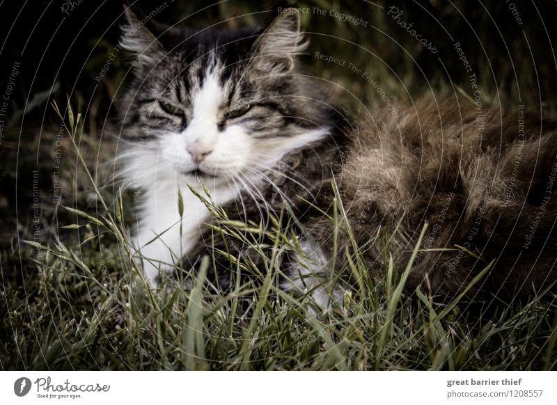Gemütliche Katze Tier Haustier Tiergesicht Fell 1 Erholung liegen schlafen elegant natürlich braun grün Müdigkeit Erschöpfung Pause Wiese Gras Auge Farbfoto