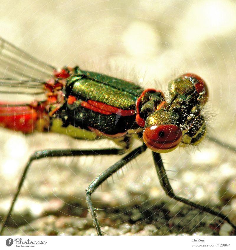 Frühe Adonisjungfer (Pyrrhosoma nymphula) _04 Frühe Adonislibelle Libelle Insekt rot Tier grün gelb Sommer Gliederfüßer Klein Libelle Schlanklibelle Grimasse