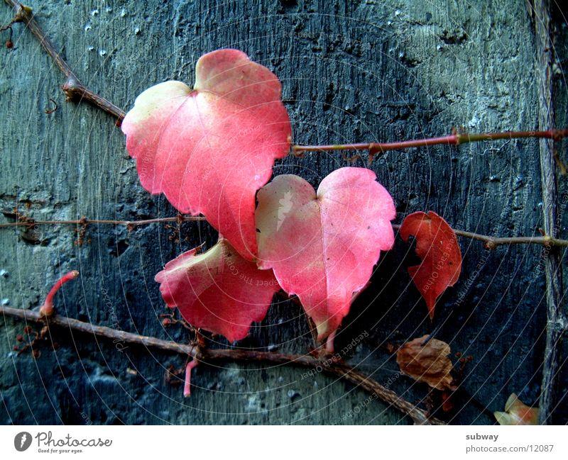 Leaf_x4 Blatt rot Kletterpflanzen Efeu Metall Natur Ruine schäbig Wand Mauer Beton Farbverlauf netzartig geheimnisvoll Leben kalt Hoffnung Reifezeit leaves