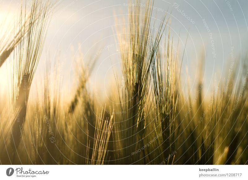 bh_001 Umwelt Natur Landschaft Sonnenlicht Frühling Schönes Wetter Pflanze Sträucher Nutzpflanze Feld Ostsee Wärme gelb gold grün Freiheit nachhaltig Farbfoto