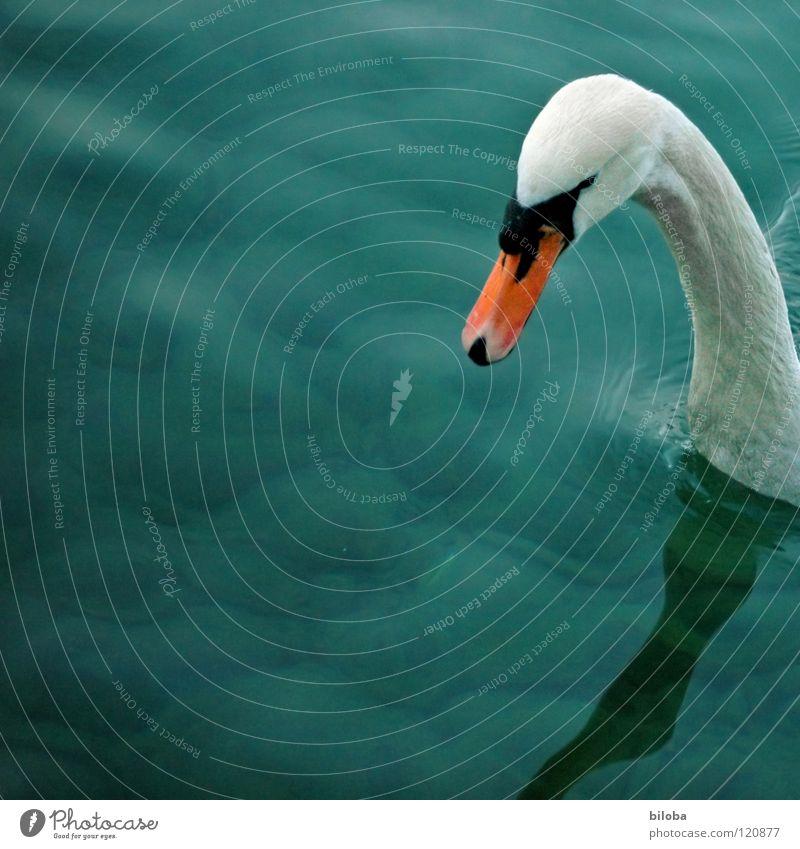 Nur mal kurz hereinschauen... Schwan weiß lang Schnabel schwarz tief grün Reflexion & Spiegelung See Vogel Tier Quadrat Wellen Schwanensee Wasser Hals orange