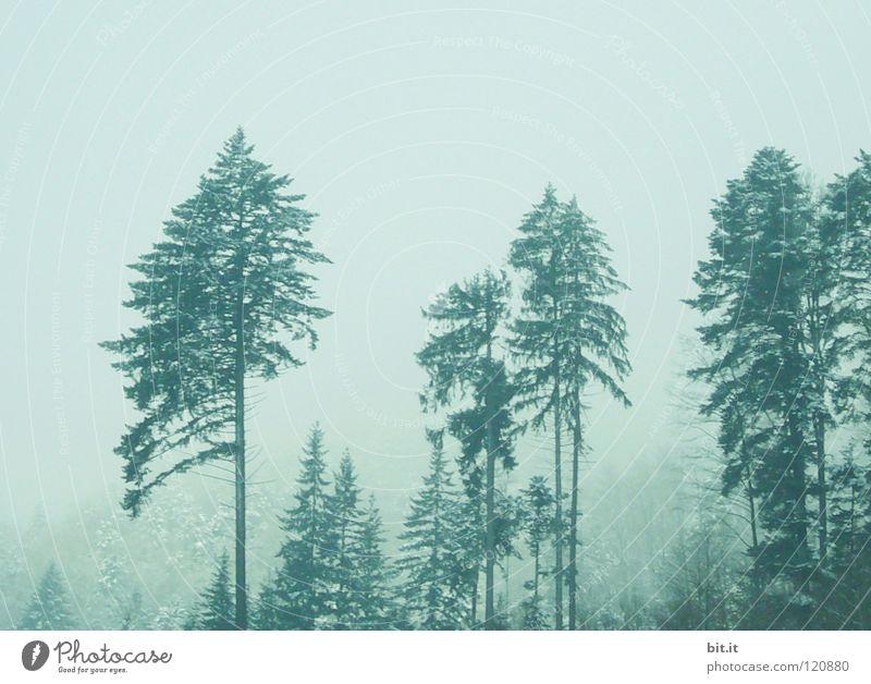 LOTHAR VETERANEN Tanne Baum Wald Winter kalt Nebel Schwarzwald Baumkrone Tannenzweig alpin weiß Hintergrundbild Horizont Einsamkeit Sauberkeit frisch Licht
