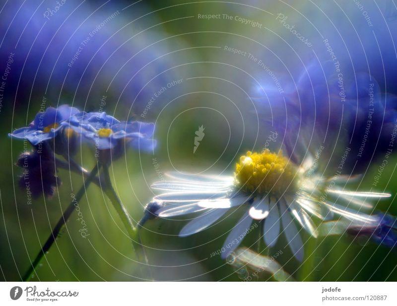 ~vergiss~mein~nicht~ Frühling springen Gänseblümchen Vergißmeinnicht Blume Wiese Gras grün gelb weiß Unschärfe Hintergrundbild Vordergrund überlagert süß